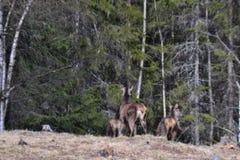 köra för deers Arkivfoto