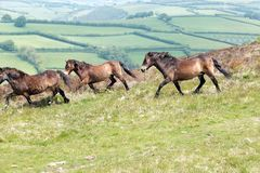 Köra för Exmoor ponnyer Arkivbild