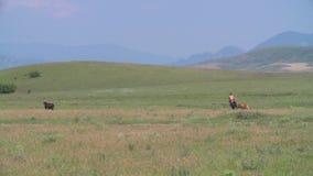 köra för flockhästar stock video