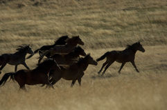 köra för hästar som är wild Arkivfoton