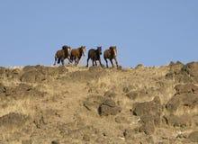 köra för hästar som är wild Royaltyfri Bild