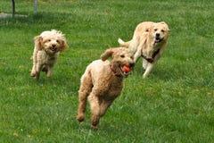 köra för hundar Royaltyfri Foto