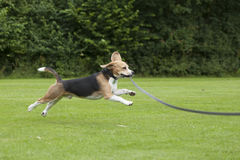 Köra för hundbeagle som är utomhus- i en parkera Royaltyfria Bilder
