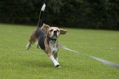 Köra för hundbeagle som är utomhus- i en parkera Arkivfoto