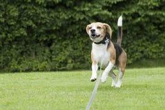 Köra för hundbeagle som är utomhus- i en parkera Arkivbilder