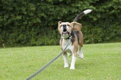 Köra för hundbeagle som är utomhus- i en parkera Royaltyfri Fotografi