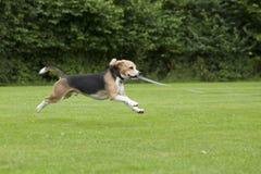 Köra för hundbeagle som är utomhus- i en parkera Royaltyfri Bild