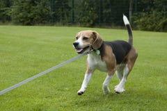 Köra för hundbeagle som är utomhus- i en parkera Arkivfoton