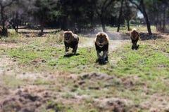 Köra för lejon Arkivbild
