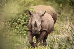 köra för noshörning Royaltyfri Bild