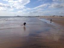 köra för strandhundar Royaltyfri Foto