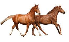 Köra för två härligt hästar som isoleras på vit Arkivfoton
