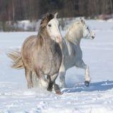 Köra för två welsh ponnies Arkivfoton