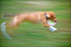 Köra med en frisbee Arkivfoto
