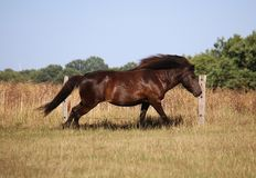 Körande icelandic häst fotografering för bildbyråer