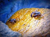 Körande krabbor Arkivfoton