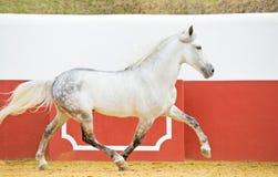 Körande vit Andalusian hingst i tjurarena arkivfoton