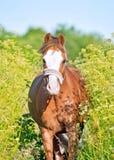 Körande welsh ponny bland örter Arkivbilder