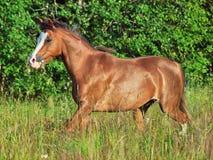 Körande welsh ponny i fältet Royaltyfria Bilder