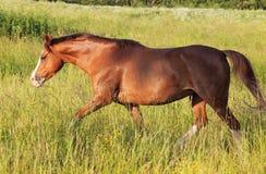 Körande welsh ponny i fältet på frihet Arkivfoton