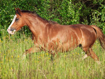 Körande welsh ponny i fältet på frihet Arkivfoto