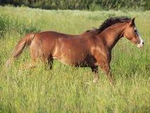 Körande welsh ponny i fältet på frihet Royaltyfria Bilder