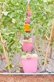 Körbe der geernteten japanischen Warzenmelone lizenzfreie stockbilder