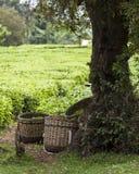 Körbe voll des frisch ausgewählten Tees Stockfotos