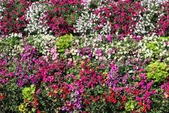 Körbe von hängenden Petunienblumen auf Balkon Petunienblume in der Zierpflanze Violette Balkonblumen in den Töpfen Hintergrund vo stockfotos