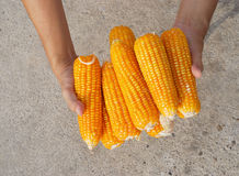 Körner in den Landwirt-Händen Lizenzfreie Stockbilder