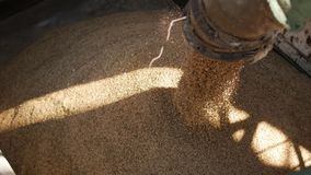 Körner des Hafers werden in einen LKW, in Anlage von Brotprodukten, in Unternehmen des Mahlens und in Zufuhrindustrie geladen stock video