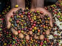 Körner des reifen Kaffees in den Handbreadths einer Person März 2009 Kaffeeplantage Stockbild
