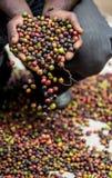 Körner des reifen Kaffees in den Handbreadths einer Person März 2009 Kaffeeplantage Stockfotos