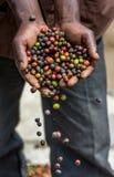 Körner des reifen Kaffees in den Handbreadths einer Person März 2009 Kaffeeplantage Lizenzfreie Stockbilder