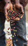 Körner des reifen Kaffees in den Handbreadths einer Person März 2009 Kaffeeplantage Lizenzfreie Stockfotos