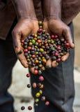 Körner des reifen Kaffees in den Handbreadths einer Person März 2009 Kaffeeplantage Lizenzfreie Stockfotografie