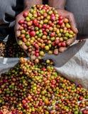 Körner des reifen Kaffees in den Handbreadths einer Person März 2009 Kaffeeplantage Stockfotografie