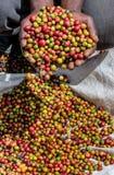 Körner des reifen Kaffees in den Handbreadths einer Person März 2009 Kaffeeplantage Lizenzfreies Stockbild