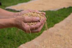 Körner des Weizens Stockbild