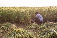 Körner und Partikel des Weizens herum explodierend während der Ernte Lizenzfreie Stockfotos
