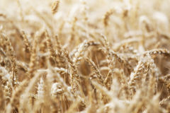 Körner von Mais mit Wassertröpfchennahaufnahme lizenzfreie stockbilder