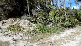 Körning av av-vägen till och med en kokosnötdunge i det karibiskt arkivfilmer