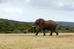 KÖRNING för afrikanBush elefant Arkivfoto