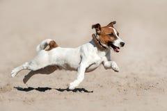 Körning för stålarrussell terrier Royaltyfri Bild