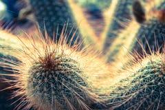 Körper und Nadeln des Kaktus (parodia) im Detail Stockbilder