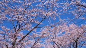 Körsbär-blomningar som beskådas från Laka Kawaguchiko i Yamanashi, Japan arkivfoto