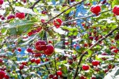 Körsbär efter regn Arkivfoto