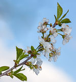 Körsbär för vit blomma Royaltyfri Bild