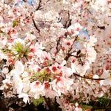 Körsbär i blom Arkivbild
