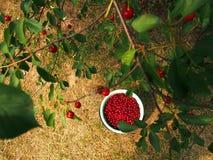 Körsbär i hink och på träd Royaltyfri Foto